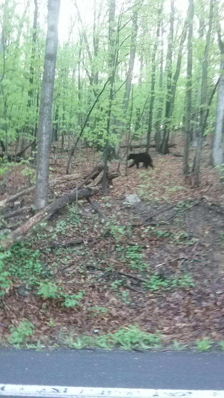 bear I saw on the way to work may 7 2018
